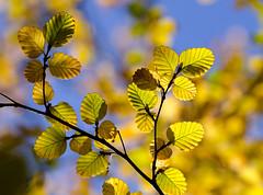Fagus (glendamaree) Tags: autumn macro nature tasmania fagus deciduousbeech