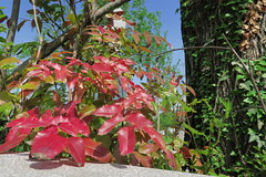 IMG_1954 (CrisMali) Tags: cemetary brightred bellugraveyard everredbush