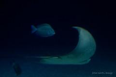 valencia 2016-115 (hiroke636) Tags: valencia animal mar agua stingray peces manta oceano oceanografic