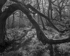 Elephant tree, trunk, branch, trunk (Hyons Wood) (Jonathan Carr) Tags: light bw white abstract black tree monochrome analog rural landscape woods branch shadows 4x5 abstraction northeast largeformat 5x4 hyonswood