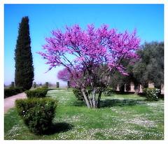 Spring is in the air ! (kurtwolf303) Tags: italien trees sky italy topf25 colors tivoli topf50 topf75 colorful europe italia 500v20f blossoms himmel olympus topf100 villaadriana 800views hadriansvilla digitalphotography blüten compactcamera 250v10f unlimitedphotos olympusx550