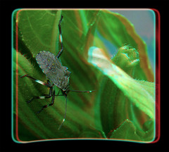 Halyomorpha Halys, Brown Marmorated Stink Bug Nymph 5 - Anaglyph 3D (DarkOnus) Tags: brown macro closeup bug insect lumix stereogram 3d pennsylvania anaglyph panasonic stereo nymph stereography buckscounty stink halys halyomorpha marmorated dmcfz35 darkonus