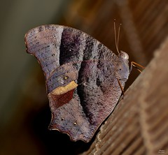 DSC_0009 (RUMTIME) Tags: brown nature butterfly evening queensland coochie coochiemudlo