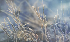 abstract winter (rockinmonique) Tags: blue autumn winter light macro fall canon gold frost dof bokeh grasses tamron shimmer tamrom 52in52