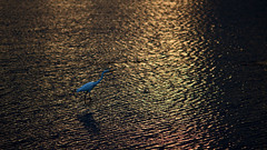 Dusk forager (OzzRod) Tags: sunset birds pentax ripples egret giantegret ardeamodesta pentaxart smcpentaxk135mmf25 k5iis wallaggalake pentaxsingleinapril2016