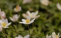 Spring 2016 - 866 LBG (Lostash) Tags: life flowers plants nature spring flora seasons leicesterbotanicalgardens