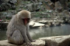 Moody macaque (Kyle Horner) Tags: japanesemacaque kanbayashi snowmonkeyresorts