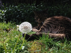 160423-miso-contemplates-flower (zverina.com) Tags: dandelion makeawish catplanet misothecat