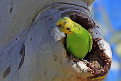 Yes I'm home! (aussiegypsy_tropical FNQld) Tags: wild green bird yellow female colorful adult wildlife small country australian parrot australia budgerigar budgie parakeet queensland trunk outback remote curious colourful thin aussie inland gumtree hollow isolated slender inquisitive curiousity plumage mtisa nomadic birdlife breedingplumage melopsittacusundulatus lookingatcamera budgi nestingsite