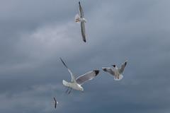 Texel - Seagull-2 (Anja Jongejan) Tags: bird animal outdoor seagull meeuwen texel vogel
