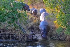 Zimbabwe-Zambesi river (venturidonatella) Tags: africa water animals nikon wildlife zimbabwe hippopotamus animali d300 zambesi ippopotamo zambesiriver ippopotami nikond300