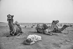 bound by a common fate (dr_zook81) Tags: old sunset portrait india white man black monochrome evening three sand sad desert outdoor sleep dunes dune rope tourist camel fate tired asleep bound camels rajasthan khuri