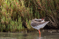 Gambette_160404_St Paul (f.chabardes) Tags: france animaux aude avril languedoc commonredshank tringatotanus oiseaux 2016 charadriiformes 2t tringinae chevaliergambette narbonnais scolopacids etangstpaul
