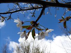 Four Blossom (Gilder Kate) Tags: sky clouds lumix blossom bluesky surrey panasonic april abinger whiteblossom panasoniclumix uptothesky whitedowns whitedown tz70 dmctz70 panasoniclumixdmctz70 whitedownwood