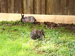 The boys enjoying the day (Tjflex2) Tags: pet rabbit bunny nature lapin
