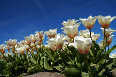 the white ones.. (leuntje) Tags: holland netherlands tulips tulipa bollenstreek