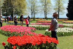 pretty as a picture (overthemoon) Tags: flowers red people lake yellow fleurs schweiz switzerland suisse tulips lakeside svizzera tulipfestival vaud morges tulipes ftedelatulipe romandie parcdelindpendance