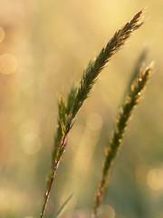 Un matin dans la prairie... (chang_j1) Tags: bokeh lumire prairie extrieur couleur herbe