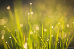 Perles de pluie (Naska Photographie) Tags: sun macro nature soleil photo photographie natur pluie paysage herbe proxy matin macrophoto photographe rose macrophotographie proxyphoto naska