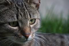 Cat (Klaudia D. P.) Tags: wild portrait pet color cute eye beautiful face animal closeup cat eyes colorful bokeh