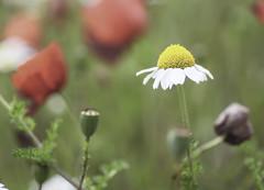 Passejant entre roselles (Retalls de Vida) Tags: flor natura rosella amapolas amapola roselles