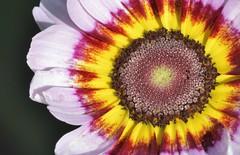 Mandala (St./L) Tags: red brown flower macro art nature yellow closeup nikon dof artistic magic relaxing imaginative
