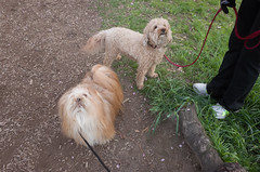 Bart with Charley (Charley Lhasa) Tags: nyc newyorkcity flowers dog ny newyork dogs pattern path iso400 centralpark manhattan bart noflash trail poodle cherryblossoms blooms uncropped charley cherrytrees lightroom 4stars lhasaapso nycparks kwanzan aperturepriority kwanzancherry dng flagged grii adobelightroom 0ev charleylhasa 183mm ricohgrii dogsmet 28mm35mmequivalent httpstmblrcozpjiby25ibo5l secatf32 adobelightroomcc20155 lightroomcc20155 r005982 taken160424184353 uploaded160428145241 tumblr160428