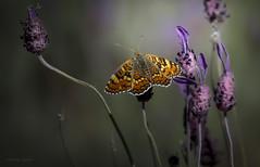 Mariposas ... (Vctor.M.Chacn) Tags: flores mariposa fz1000 dmcfz1000 victormchacn