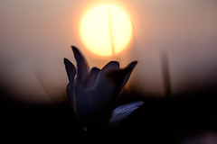 Soft grasp for light (jarnasen) Tags: morning sun sunlight flower macro nature closeup lowlight focus dof sweden outdoor extreme short adapter sverige shallow kiwi stergtland nikon40mmf28 fujifilmxt1