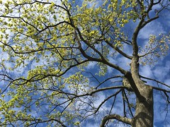Tree with spring leaves ((Jessica)) Tags: blue sky tree green leaves branches lookup pw