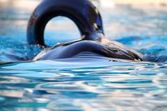 Orcas at SeaWorld San Diego (sillyrach) Tags: ocean california sea beautiful mammal one marine san stadium dolphin diego killer whale orca dorsal fin seaworld shamu orcas keet shouka cetaceans cetacean ulises