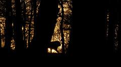 Sunset Lion (Simon Clare Photography) Tags: park trees sunset england orange sun abstract black southwest colour nature animal silhouette yellow digital cat li nikon foto fotografie photographie ska lion safari explore ng ho fotografia captive longleat fotografi  fotografa fotografering larawan   ffotograffiaeth sary picha  d40 consequat ljsmyndun fotoraflk fotograafia igbo fotografija valokuvaus sawir   fnykpezs fotografovn fotografana simonclare  fotografovanie pagkuha grianghrafadireacht simoncphotography  sclarephoto whakaahua  kujambula ftoyiya argazkilaritzac