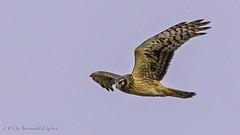 Northern Harrier (female) IMG_7921 (ronzigler) Tags: bird nature canon hawk sigma raptor northern avian harrier birdwatcher 60d 150600mm