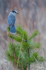 Mountain Gray Jay | Kananaskis (anoopbrar) Tags: red wild bird nature beautiful birds pinetree kananaskis grey jay outdoor wildlife ngc birding gray perched jays songbird banffnationalpark grayjay greyjay wildlifephotography mountainjay