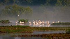 American White Pelicans (Doug Scobel) Tags: b white bar circle reserve pelican american pelecanus erythrorhynchos