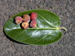 Ficus benghalensis - Plants of Hawaii - Starr Environmental