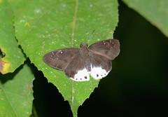 Snow Flat Tagiades sp. (Pasha Kirillov) Tags: sumatra indonesia hesperiidae pyrginae gunungleuser ketambe taxonomy:family=hesperiidae geo:country=indonesia tagiadini