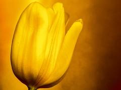 Golden Tulip - Goldene Tulpe (Stadt-Kind) Tags: flower macro closeup gold golden stillleben tulip stillife blume makro tulpe autofocus
