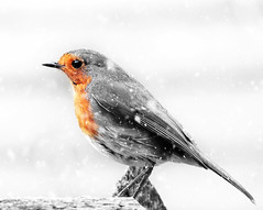 A Winters afternoon. (mortimer.adrian) Tags: winter snow colour bird nature robin feathers