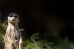 2014-07-12_Zoo_Dortmund_0011 (julian_bocholt) Tags: zoo tiere dortmund erdmnnchen