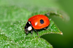 Adalia bipunctata (Linnaeus, 1758) (Jess Tizn Taracido) Tags: coleoptera coccinellidae adaliabipunctata coccinellinae coccinellini cucujoidea cucujiformia polyphaga