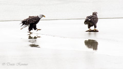 Bald Eagles fighting over fish (TKovener) Tags: lake fish over bald indiana fighting eagles mississinewa