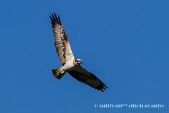 IMG_2541 (sullivan) Tags: nature animal taiwan sullivan  osprey    ef300mmf4lisusm   canoneos7d   newtaipeicity    adobephotoshoplightroom5 suhaocheng