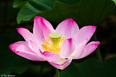 Lotus (Thad Zajdowicz) Tags: life travel pink light shadow usa plant flower color colour detail green texture nature beautiful beauty yellow closeup blackbackground digital canon dark eos dc washington flora pattern dof bright lotus blossom bokeh outdoor vibrant pastel vivid floating depthoffield petal ethereal 7d bloom botanic serene organic dslr tranquil placid lightroom kenilworthaquaticgardens zajdowicz