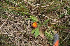 Orange hawkweed (Environment + Heritage NSW) Tags: weed volunteers volunteer hawkweed kosciuszko kosciuszkonationalpark orangehawkweed volunteerprogram weedcontrol weedmanagement huntinghawkweed orangehawkweedcontrolprogram weedvolunteerskosciuszkonationalpark weedprogram