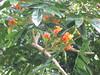 starr-120606-6898-Castanospermum_australe-flowers_and_leaves-Kahanu_Gardens_Hana-Maui (Starr Environmental) Tags: castanospermumaustrale