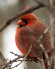 Northern Cardinal Super Closeup (ralph miner) Tags: cardinal northerncardinal hawthornehill