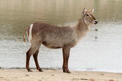 Kobus ellipsiprymnus  (Water Buck) (Nick Dean1) Tags: animal southafrica antelope animalia krugernationalpark satara waterbuck chordata kobusellipsiprymnus transportdam