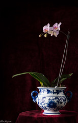 Orchid (WanFang) Tags: blue red plant orchid flower vase