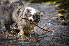 I found a stick (redshift1960) Tags: dog wet water canon stream duke stick bordercollie bluemerle